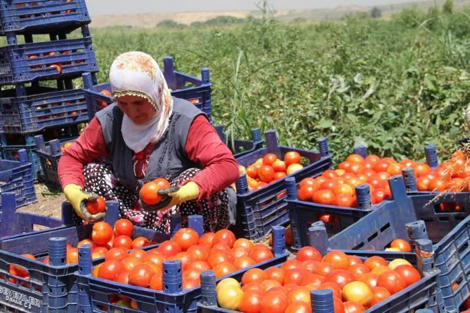 Ne domates üreticisi memnun ne de emekçi 1