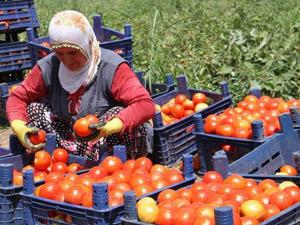 Ne domates üreticisi memnun ne de emekçi
