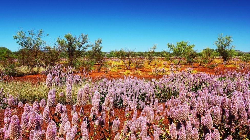 Fotoğraflarla: Dünyanın bahar renklerine bürünen çölleri 1