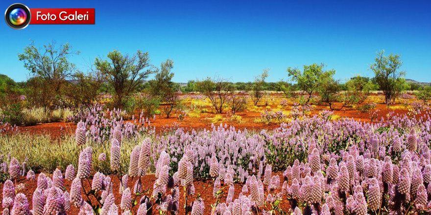 Fotoğraflarla: Dünyanın bahar renklerine bürünen çölleri