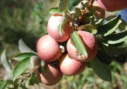 Van'ın 4 bin yıllık elması