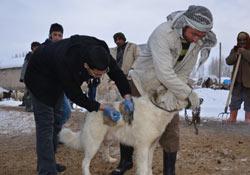 Cizre'nin Ulaş Köyünde Kuduz Salgını