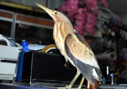 İran Balıkçıl Kuşu bulundu