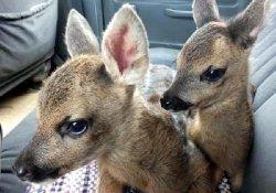 Fındık Bahçesinde İki Yavru Karaca Bulundu