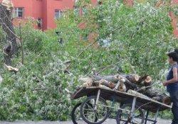 Polen Yüzünden Kavaklar Kesildi