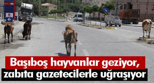 Hakkari'de başıboş inekler kazalara davetiye çıkartıyor