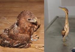 Şırnak'ta iki yaralı kuş!