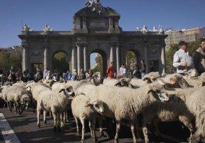Madrid'i koyunlar bastı