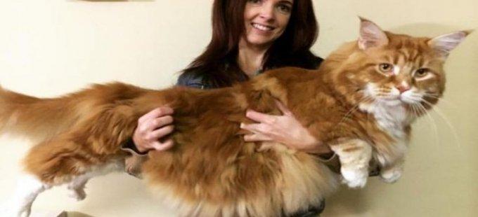 Dünyanın en uzun kedisi: Omar