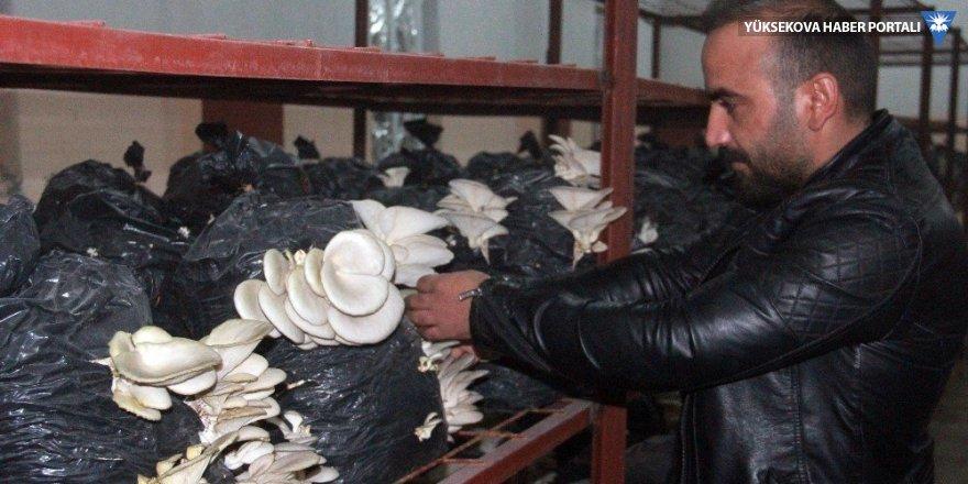 Hakkari'de ilk defa istiridye mantarı üretildi