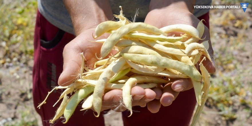 Van'da hasat dönemi