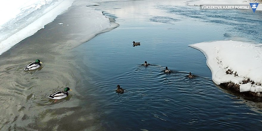 Yaban ördekleri dondurucu soğukta Yüksekova'yı mesken tuttu