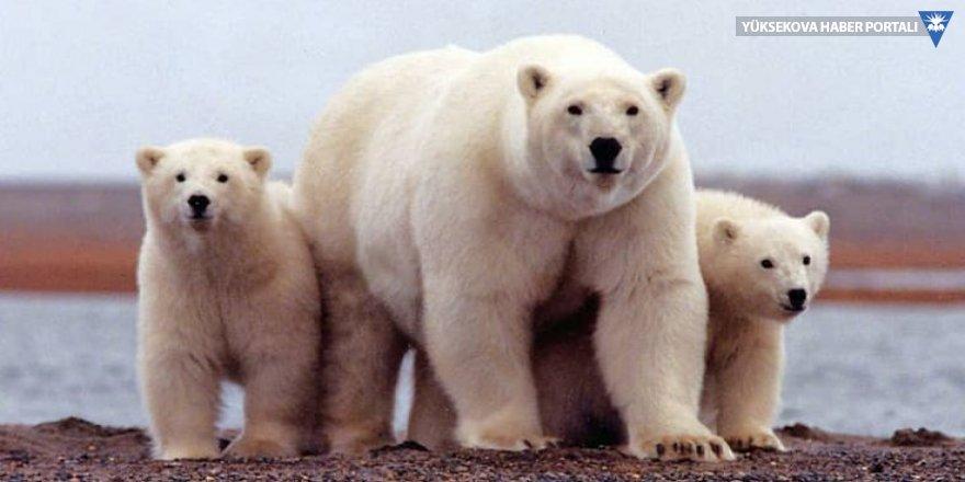 Rusya'da yemek bulamayan kutup ayıları şehre indi, acil durum ilan edildi