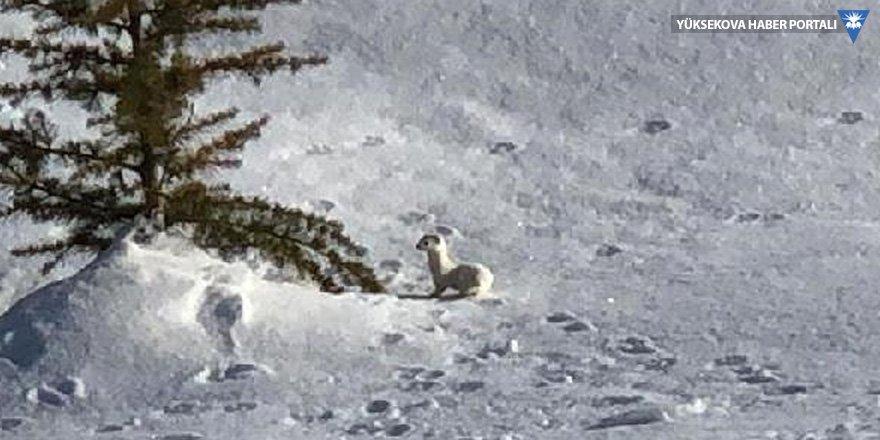 Beyaz gelincik, Hakkari'de de görüntülendi
