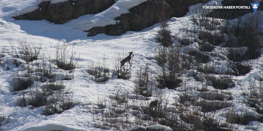 Dağ keçileri Sümbül Dağı yamaçlarına indi