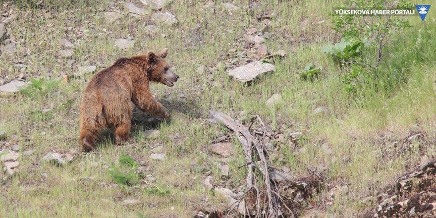 Çukurca: Boz ayı yiyecek ararken görüntülendi