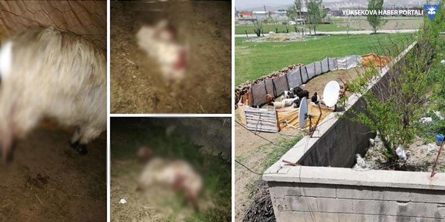 Yüksekova'da sokak köpekleri koyunlara saldırdı