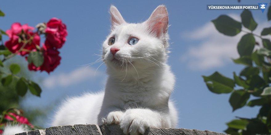 Van kedileri sağır değilmiş