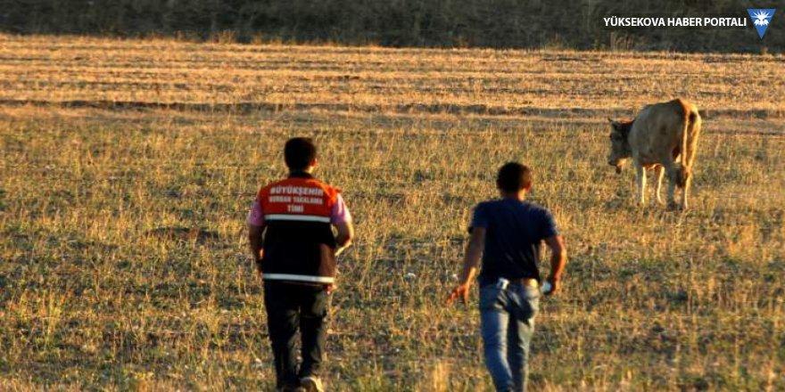 Beş gündür kaçan inek yasak bölgede bulundu