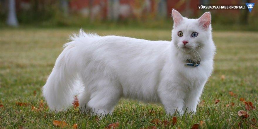 Van kedileri podyumda boy gösterecek