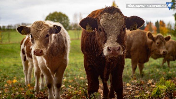 Virüsten korunmak için inek dışkısıyla yıkandılar