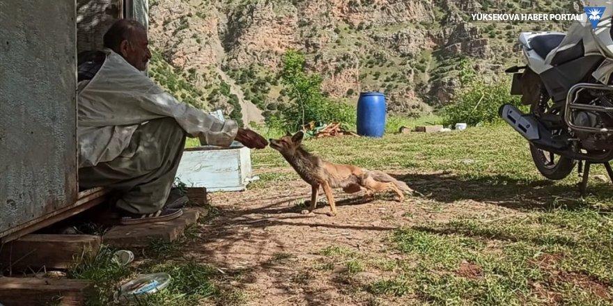 Çukurca'da arıcılar, bölgeye gelen tilkiyi elleriyle besliyor