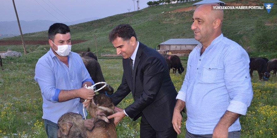 Yüksekova'da çiftçilere manda dağıtımı