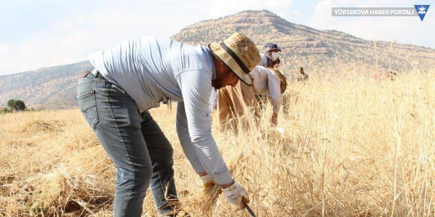 Derecik'te 40 derece sıcaklıkta buğday hasadı