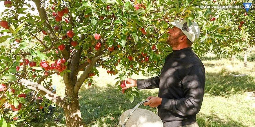 Yüksekova'da elma hasadı