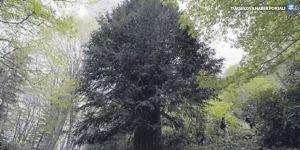 En yaşlı 6. ağaç Türkiye'de