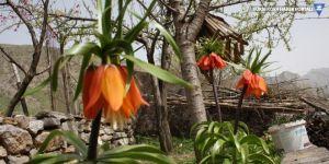 Baharın müjdecisi ters laleler çiçek açtı