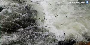 İnci kefali balığının göç serüveni sürüyor