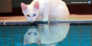 Van'da yüzücü kediler yetiştirilecek