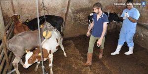 Ankara'da 10 bin hayvana şarbon aşısı