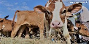 Süt üretimi yüzde 10 düştü