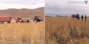 Yüksekova'da aspir hasadına başlandı