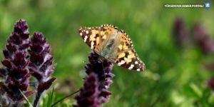 'Diken kelebekleri' doğaya renk katıyor