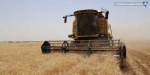 Buğdayda hasat gecikmeli başladı