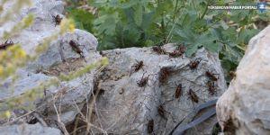 Hakkari'de artan çekirgeler ekinleri tehdit ediyor!