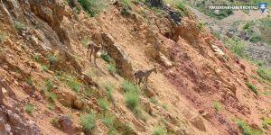 Yiyecek arayan yaban keçileri kara yoluna indi