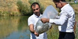 Hakkari'deki baraj ve göletlere 130 bin sazan yavrusu bırakıldı