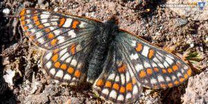 12 bin yıllık kelebek türü Ağrı Dağı'nda görüntülendi