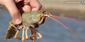 Van Gölü'nü bekleyen tehlike: 'Birileri gelip buraya attı ve tür burada çoğalmaya başladı'