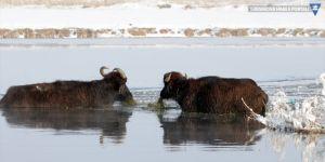 Çaldıran'da mandalar dondurucu soğukta suda besleniyor