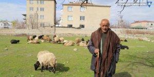 Koyunlarını sokaklarda otlatıyor