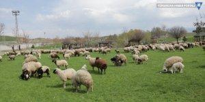 Van'da besiciler izin belgesiyle hayvanlarını otlatıyor