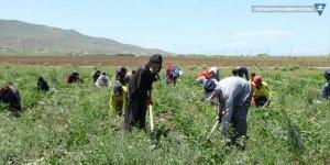 Erciş'te şeker pancarı üretimi