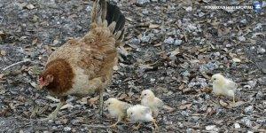 İran'da yaklaşık 7 bin tavuk üreticisi iflas etti