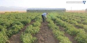 Yüksekova'da kiraladığı arazide domates yetiştiriyor, hedefi 20 ton!