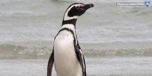 Brezilya'da ölü penguenin midesinden maske çıktı